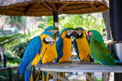 five parrots perched on brown wooden surface depicting the tools about how to improve speaking
